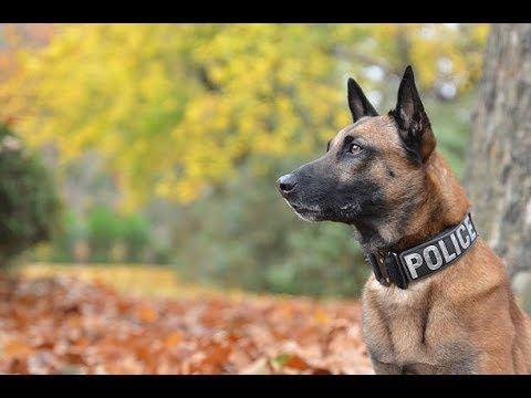 La Gran Inteligencia Del Pastor Belga Malinois Extreme Trained Disciplined Belgian Malinois Youtube Police Dogs Malinois Dogs