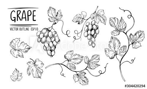 Outline grapes leaves berries Hand drawn sketch converted to vector Isolated on white background #sp in 2020 How to draw hands Vector converter White background