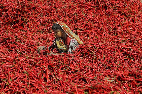 An Indian worker processes red chilies at Shertha village, near Ahmadabad. Workers earn about 20 US cents for removing the petioles from 20 kg of chilies.