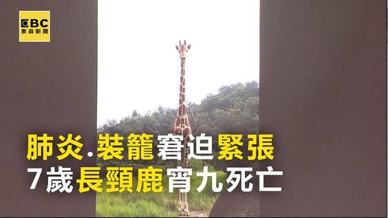 最新》肺炎+裝籠窘迫緊張 7歲長頸鹿死亡 #伏特編:好心疼,怎會這樣子? #請分享 木柵動物園的最新說法  記者:陳佳雯 報導 #動物園 #長頸鹿