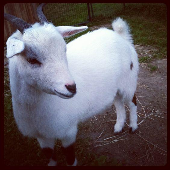 fainting goat named Betty. | Goats | Pinterest | Fainting Goat, Goats ...