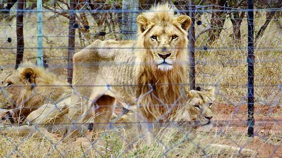 250 STARVING LIONS FOUND IN RAID ON TROPHY HUNTING FARM. A game farm in South Africa has been raided to rescue emaciated lions that were being bred to be shot by hunters. Officials had received photographs of the starving animals in cages.  The lions were held at a private hunting farm in Alldays, a small town notorious for its so-called driven hunts where shooters fire at animals from the back of trucks.