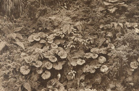 Maui, 1924, Gilbert H. Grosvenor dwarfed by giant umbrella-like leaves of the 'ape 'ape plant.: