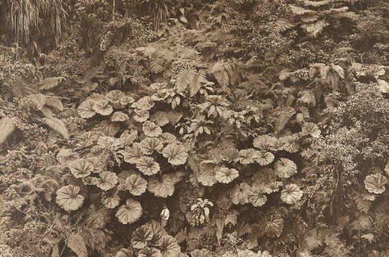 Maui, 1924, Gilbert H. Grosvenor dwarfed by giant umbrella-like leaves of the 'ape 'ape plant.: