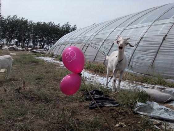 Les chèvres souhaitent joyeux anniversaire à Limagrain dans les serres chinois. #50ansLimagrain