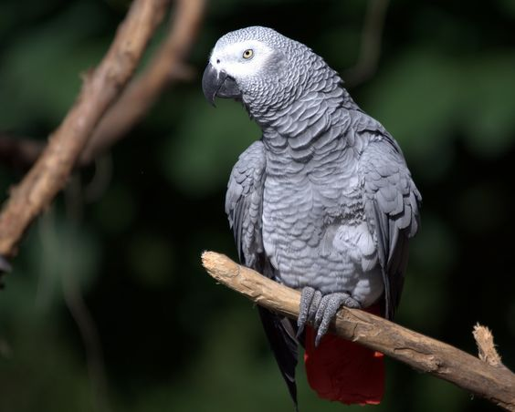African Grey Parrot | Flickr - Photo Sharing!