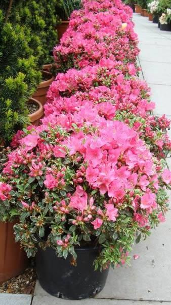 azalea japonica silver small low growing shrub with mound forming habit and beautiful