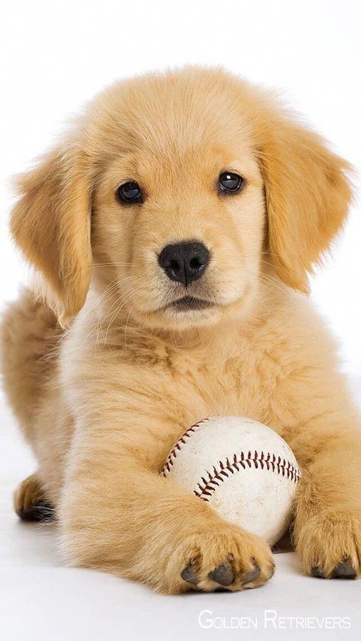 Facts On The Devoted Golden Retriever Puppy Goldenretrieverdog