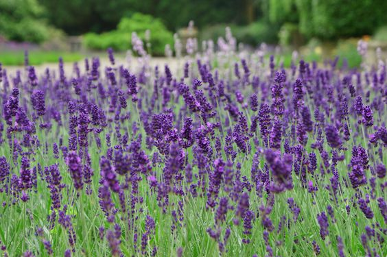 Lavender, lots and lots of lavender