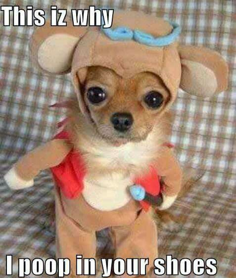 38 Scrappy Memes For Small Dog Lovers Lovely Animals World Dog Costumes Funny Cute Animals Cute Dogs Breeds