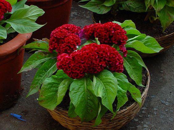 Celosia Cristata Dsc00991 Jpg Jpeg Image 1024x768 Pixels Flower Pots Plants Indoor Plants