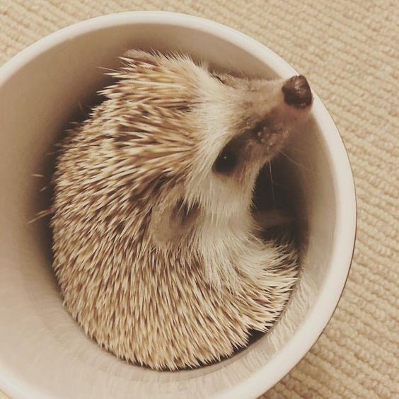 """I don't know what this thing you put me in is but I hate it."" #hedgehogcommunity #hedgehogs…"""