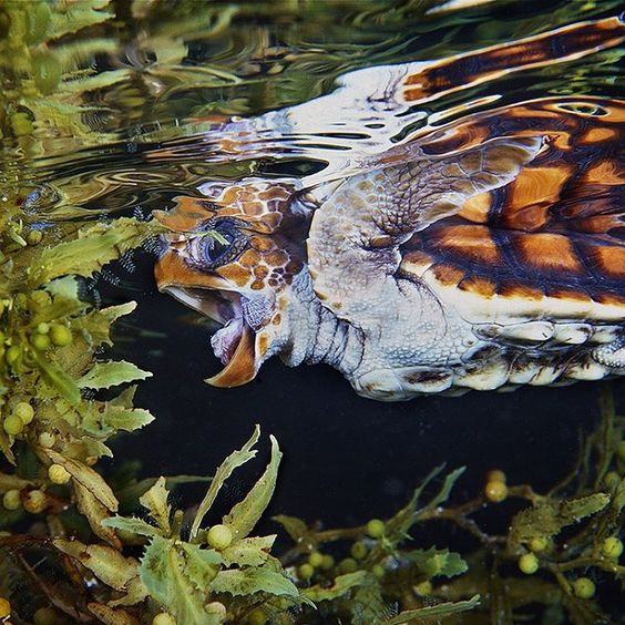 """""""Photo by @BrianSkerry A Loggerhead Turtle hatchling feeds amongst sargassum weed in the waters off Florida. If this little turtle is lucky, he might live…"""""""
