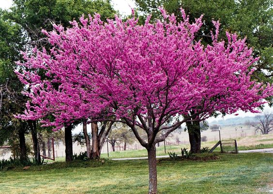 My talented friend caroline clemmons is my guest drought for Small flowering trees full sun