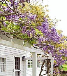 Wisteria sinensis Cooke\'s Purple