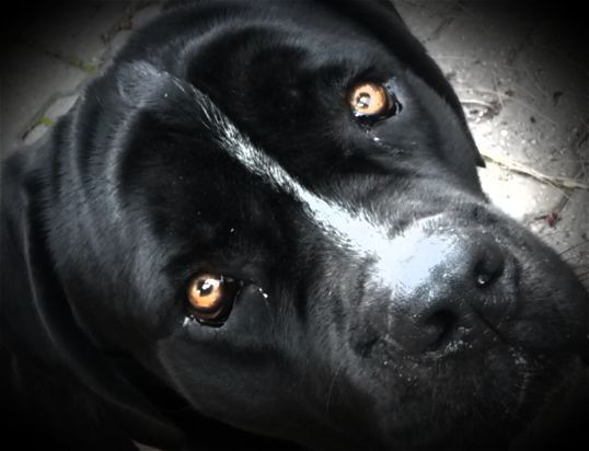 Cane corso italian mastiff, Amber eyes and Cane corso on ...