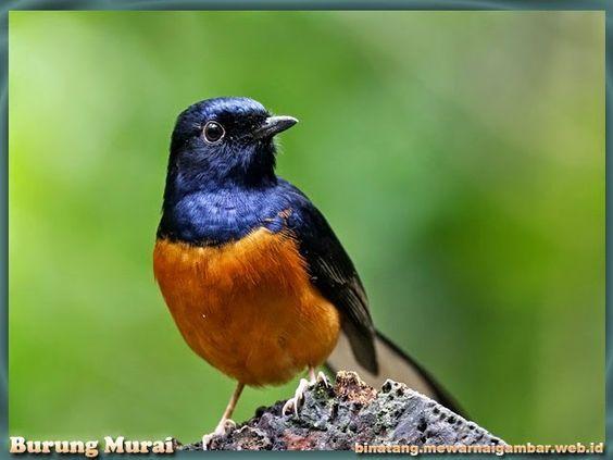 Murai Batu Indonesia Pet Birds Animals Animals And Pets