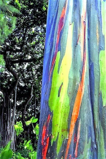 Ooit gehoord van de regenboog eucalyptusboom?