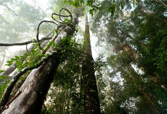 Jungle Tree..