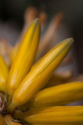 aloe bloom - stock photo