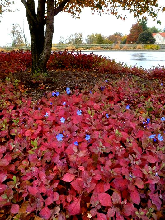 Plumbago fall color wow red leaves blue flowers for Low maintenance fall flowers