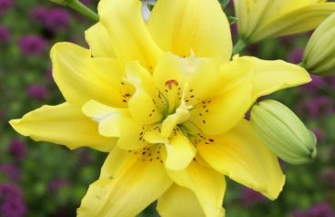 """Common Name:Asiatic Hybrid Lily""""Fata Morgana""""  Botanical Name:Lilium asiatica """"Fata Morgana""""  Type:Spring Planted Bulb  Bulb Size:Large 14-16 cm  Color:Double bright yellow  Mature Height:3-4Feet Tall / 6-Inch flower  Sun / Shade:Sun& Partial Shade  Bloom Time:Early to Mid Summer  Hardiness Zones:3 - 8"""