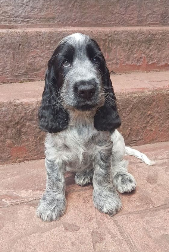 Pin By Victoria Heras Camez On イングリッシュ コッカー スパニエル Cocker Spaniel Dog Dogs Blue Roan Cocker Spaniel