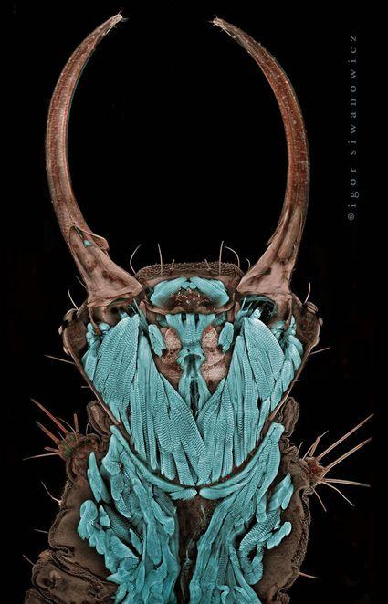 tête de larve de chrysope