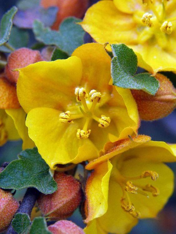 Flores da selva Amazonica - Flannelbush (Fremontodendron californica)