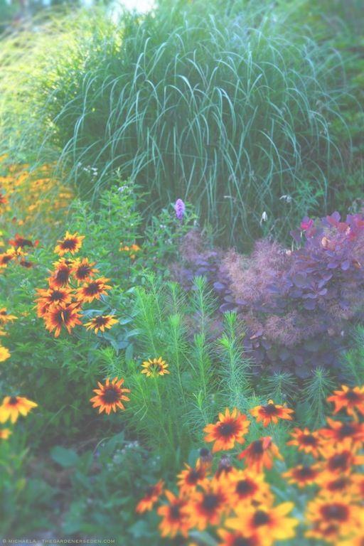 Drought Tolerant Mix For Summer Autumn Color Rudbeckia Hirta