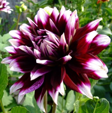 Name: Mystery Day (#1003) Classification: Dekorative Dahlien Color: dunkelweinrot, weiße Spitzen Height: circa 80 cm Blossom size: 15 cm - 20 cm Grower, Year Lans, v.d., (Netherlands), 1994