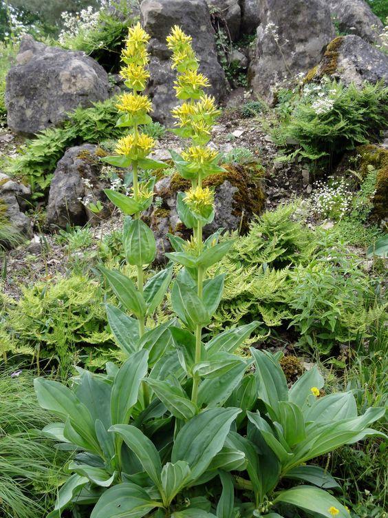 Ein wahres Krafpaket: Der Gelbe Enzian (Gentiana lutea). Eine solcher Prachtkerl lässt sich dafür aber mindestens fünf Jahre Zeit- bei aufmerksamer Pflege natürlich.