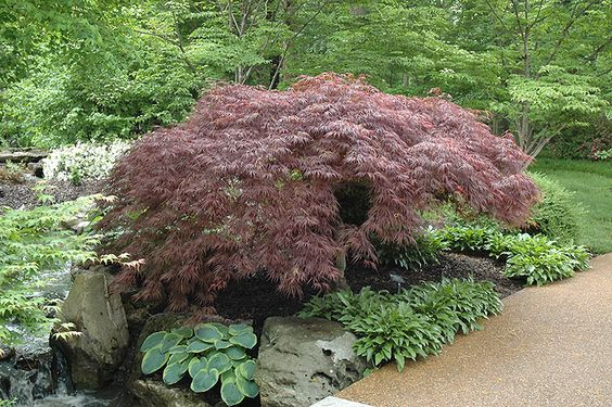 Click to view full-size photo of Red Select Japanese Maple (Acer palmatum 'Red Select') at Oakland Nurseries Inc