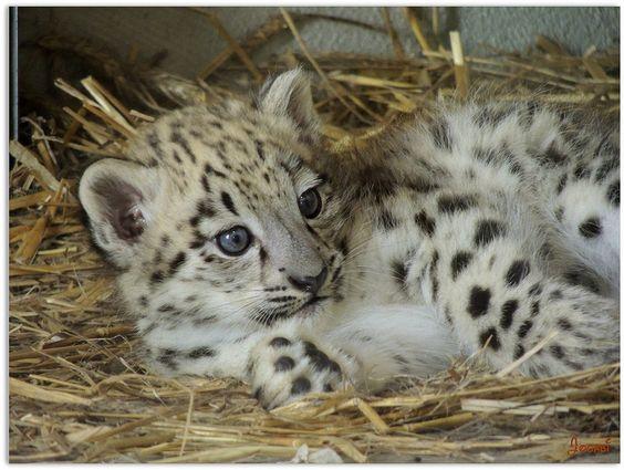 Bébé Panthère des Neiges - Baby Snow Panther
