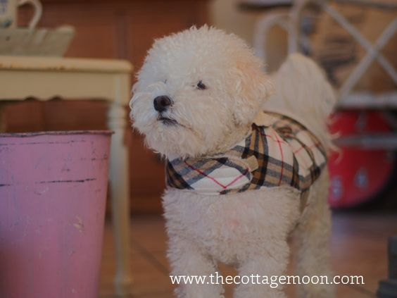 Lovely bichon in coat. Pippin!
