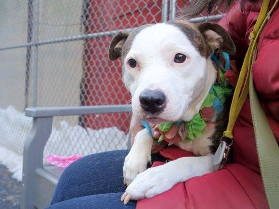 Manhattan Center AQUAGIRL - A1027122 FEMALE, BR BRINDLE / WHITE, PIT BULL MIX, 4 yrs STRAY - ONHOLDHERE, HOLD FOR EVICTION Reason OWN EVICT Intake condition UNSPECIFIE Intake Date 02/04/2015, https://www.facebook.com/photo.php?fbid=958142630865283