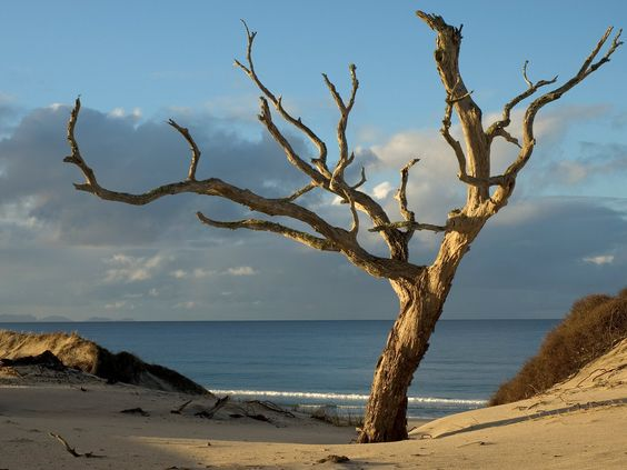 pakiri_tree-nigel