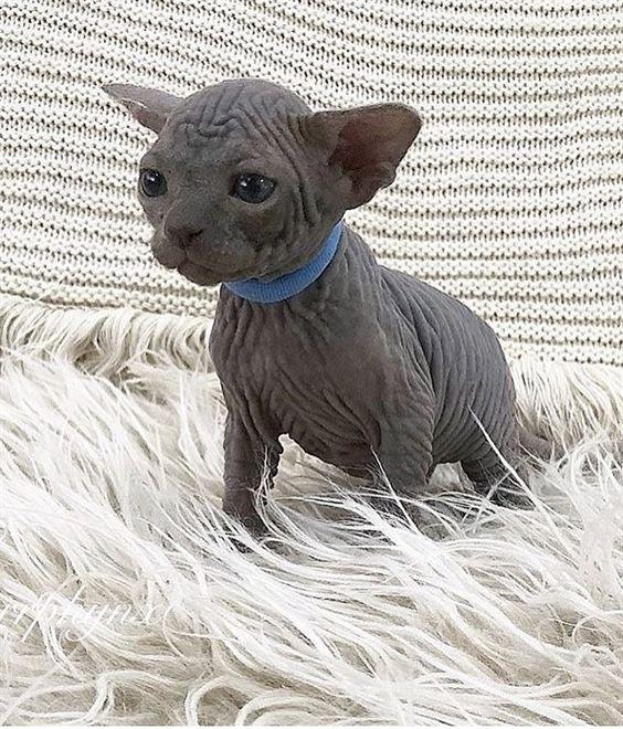 Sooo Wrinkly Sphynx Kitten Adorable Pet Kitten Hairless Kitties