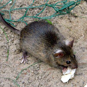 Rattenplage in Berlin: Gefährliche Nager - SPIEGEL ONLINE