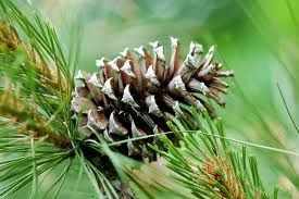 trees with pine cones.... Love!