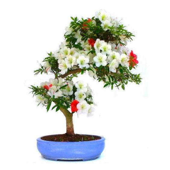 Vente de Bonsai Azalée Satsuki 67 cm Asahi-no-Izumi Bicolore Specimen, Sankaly Bonsaï, Boutique Bonsaï et Accessoires. Acheter en Ligne