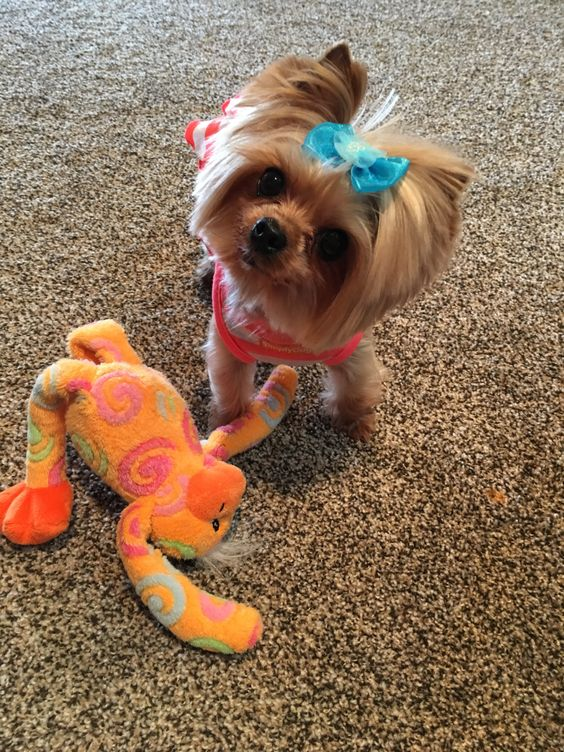 Zoe wants to play! Yorkie Love!!