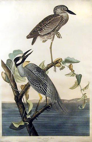 John James Audubon - Yellow Crowned Heron (Plate CCCXXXVII)