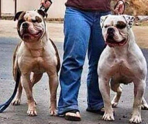 Two Beasts American Bulldog Bulldog Bulldog Puppies Bulldog Dog
