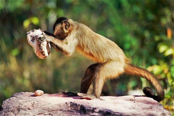 ¿Entraron los monos capuchinos de Brasil en la edad de piedra hace al menos 700 años? La vida sigue su curso y los animales, como una vez hicieron los predecesores de los humanos, encuentran nuevos métodos para subsistir y hacer uso de los materiales de que disponen para utilizarlos a modo de herramientas.