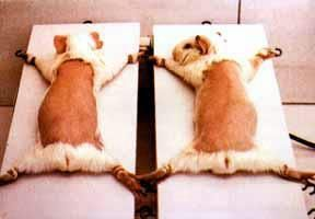 These poor babies are tied down to test sunscreen.  It gets hotter and hotter and they burn. If you buy products tested on animals, this is what your money is supporting.