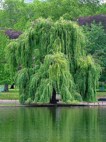 How to make medicine from willow: