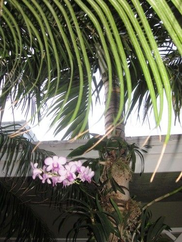 Orchids attached to palm trees give a tropical look to the landscape.  Slide show.