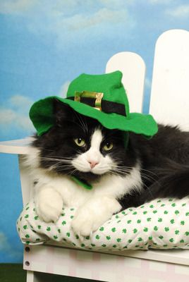 cute cat picture of a long-haired, black-and-white feline wearing a green hat for St. Patricks Day #cats #kittens #animals #pets #stpatricksday #cute