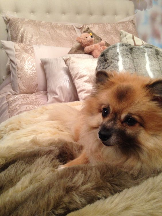 My bed #fur #throws #pillows #bed #pomerainian